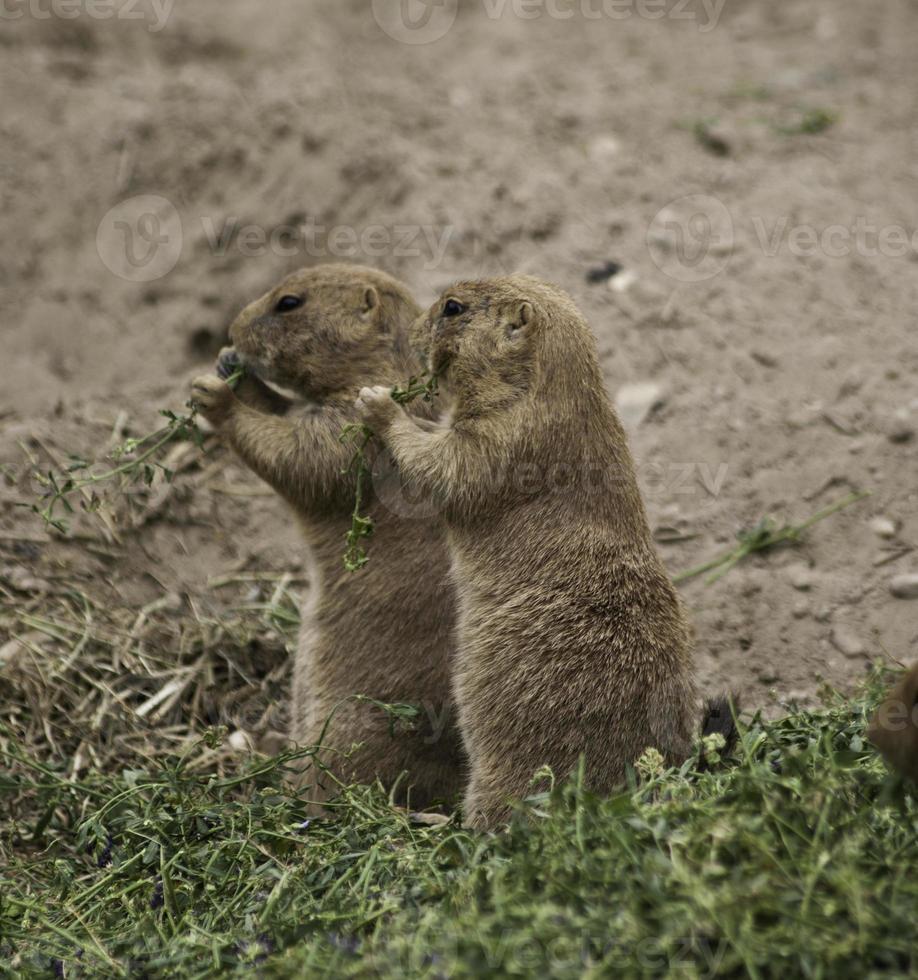 twee prairiehonden eten met zwarte staart foto