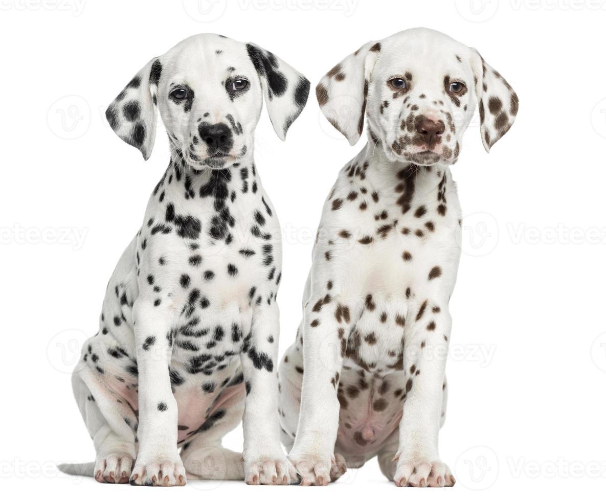 vooraanzicht van Dalmatische pups zitten, geconfronteerd foto