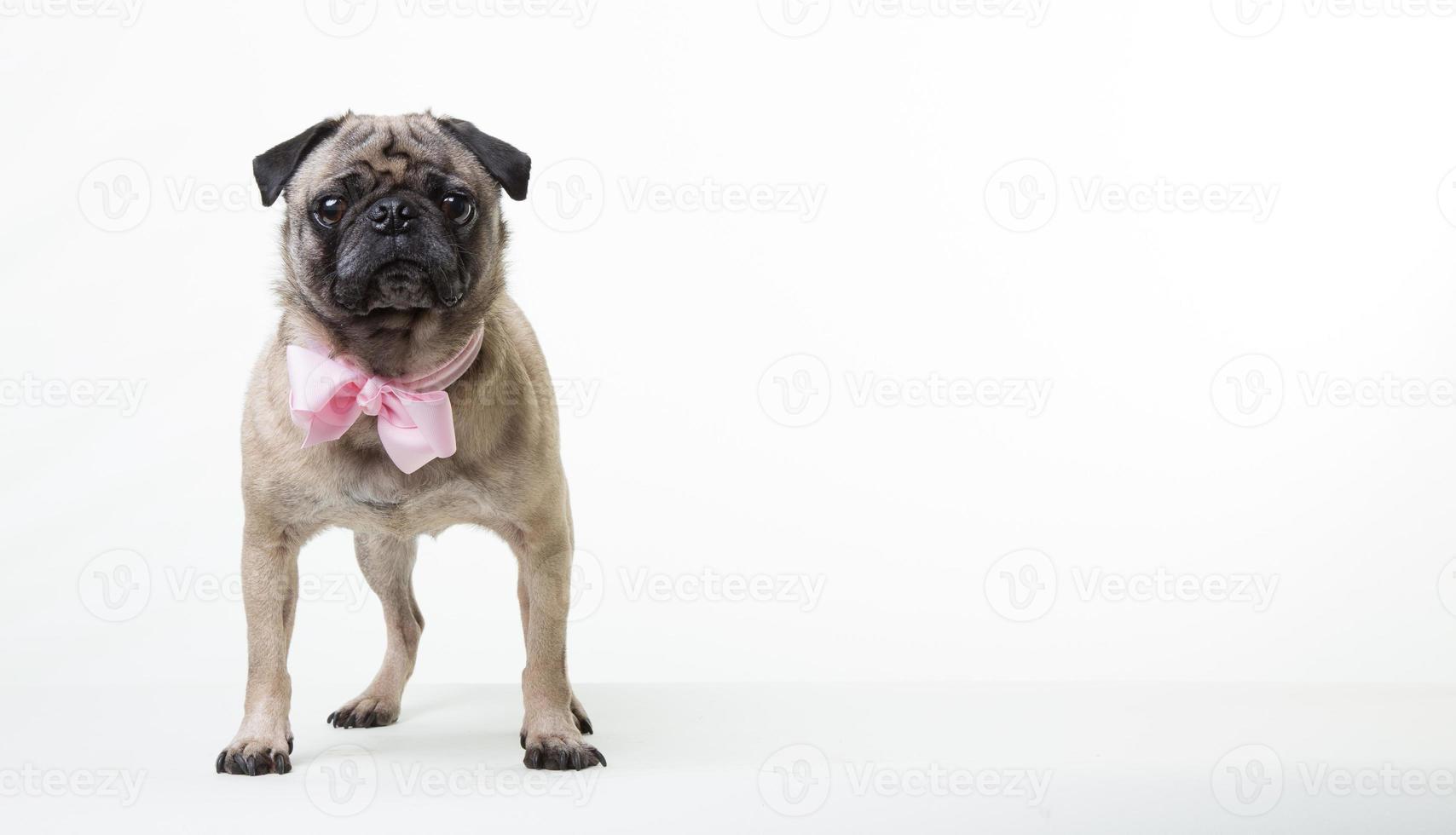 triest huisdier pug hond met strikje foto