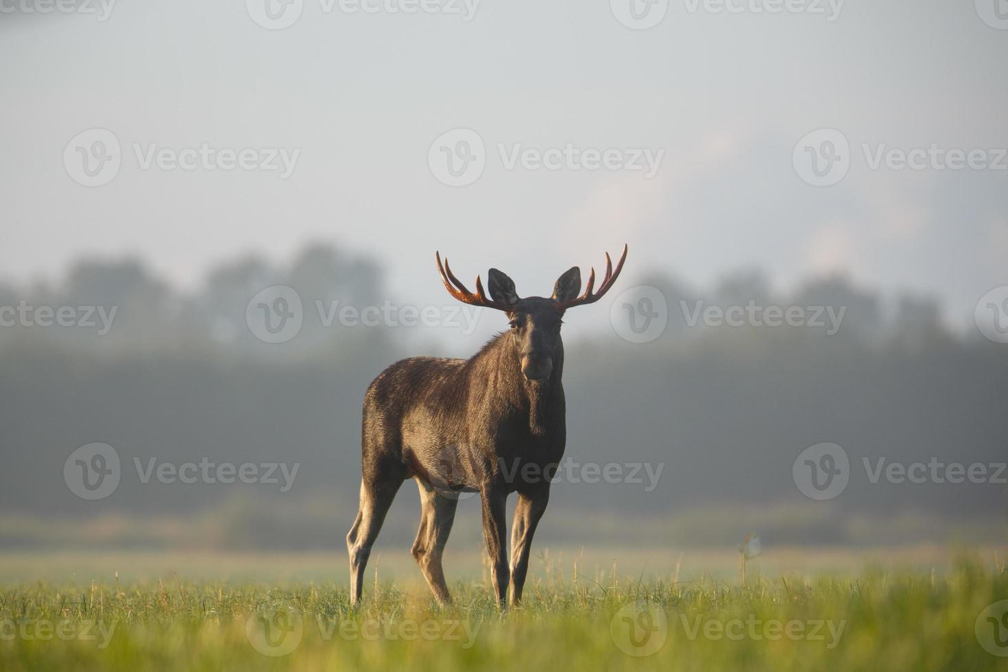 bull moose portret foto
