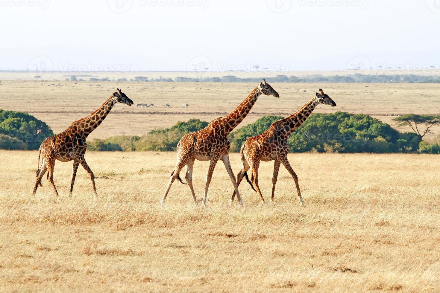 masai mara giraffen foto