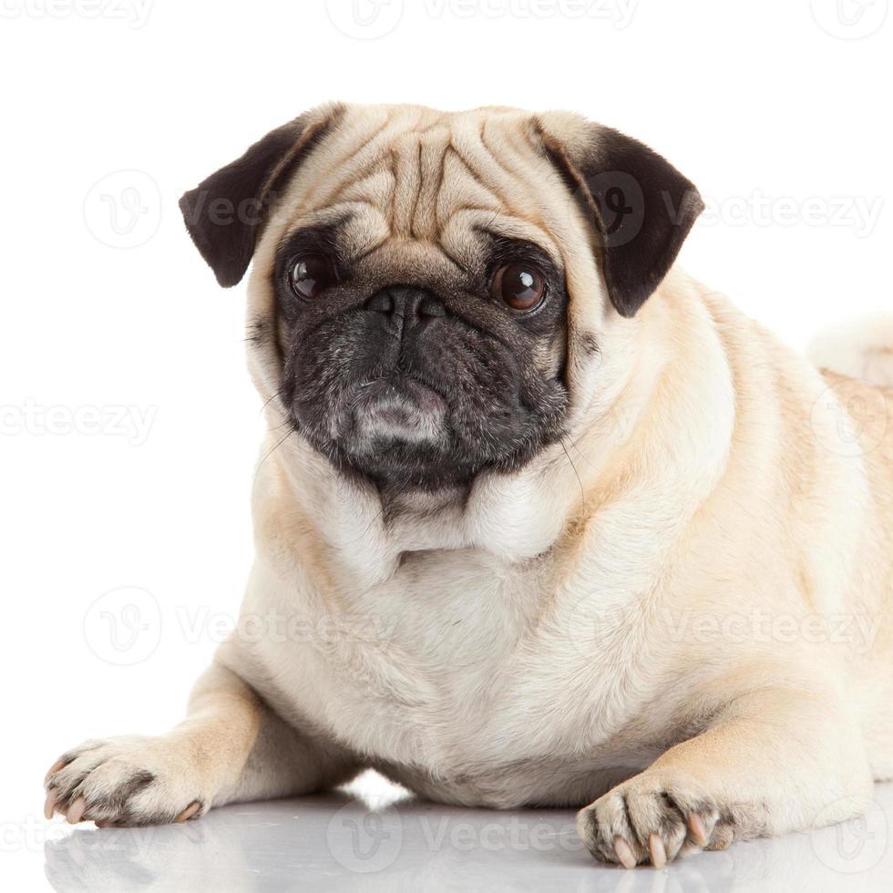 pug dog geïsoleerd op een witte achtergrond foto