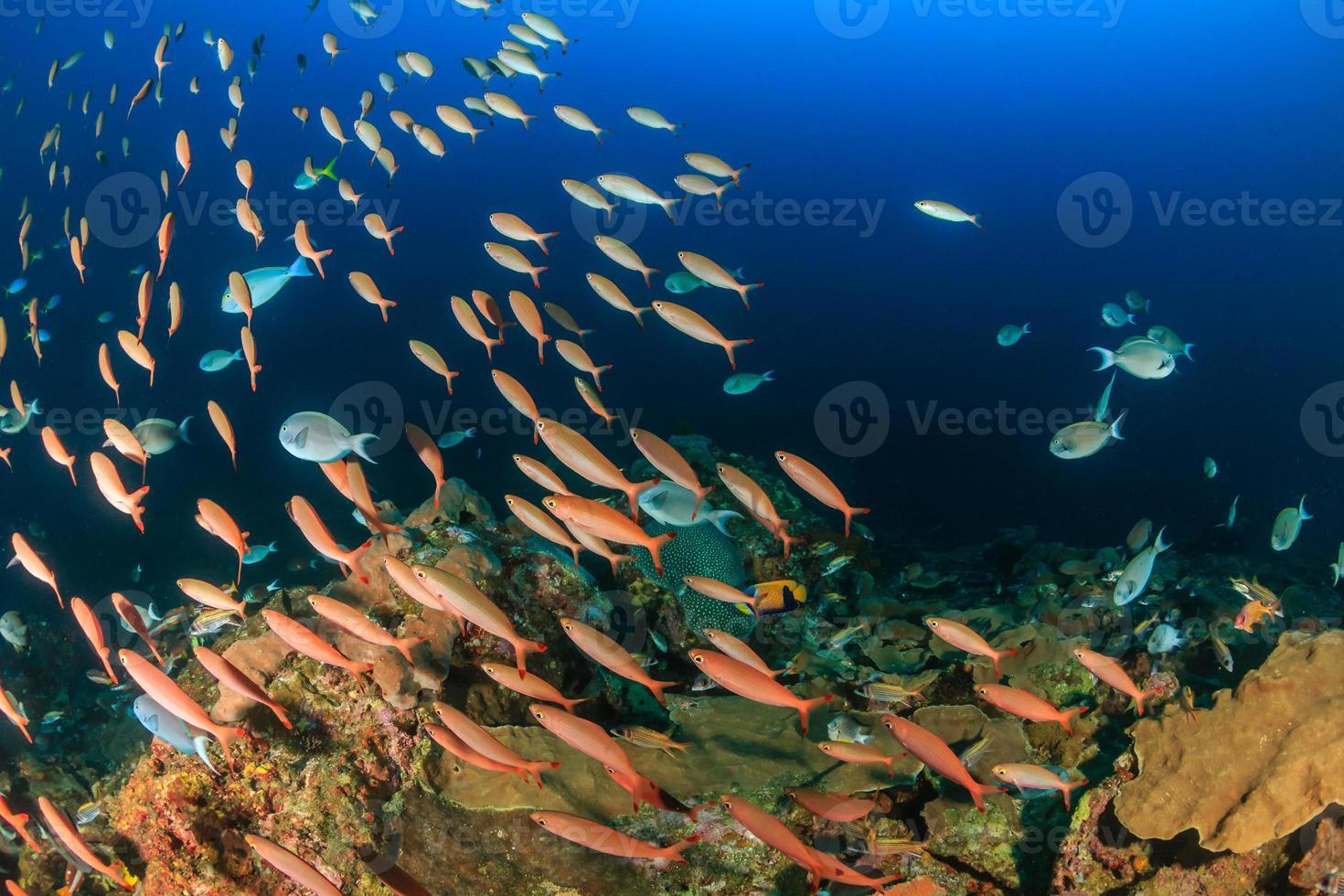 scholen tropische vissen rond een diep water koraal hoogtepunt foto