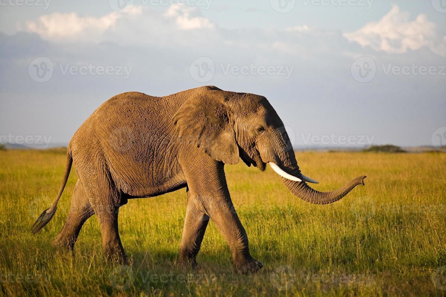 Afrikaanse olifant in de serengeti foto