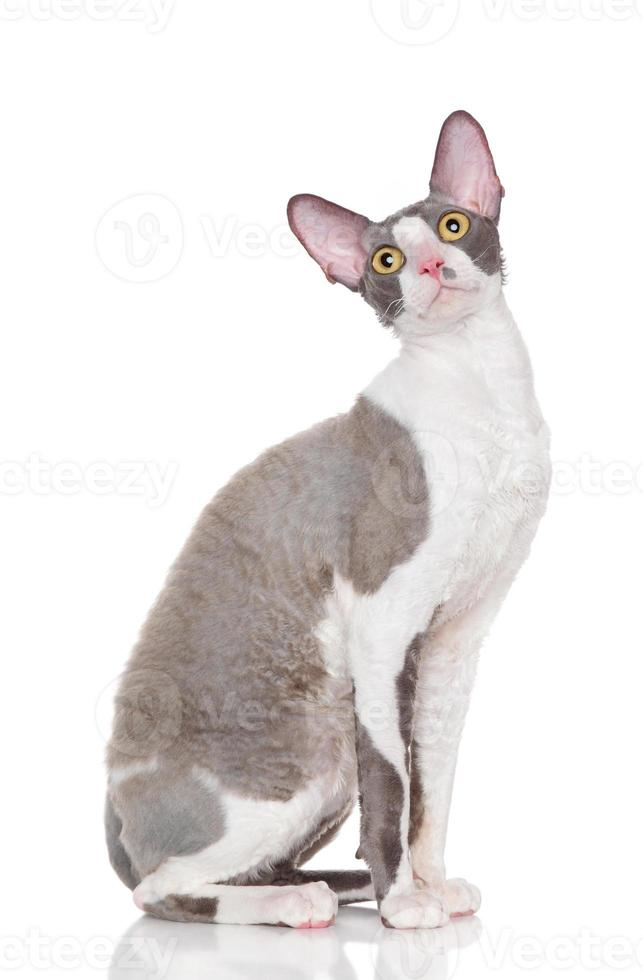cornish rex kitten foto