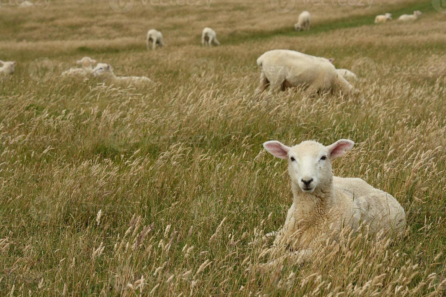 schapen die in grasrijke weide rusten foto
