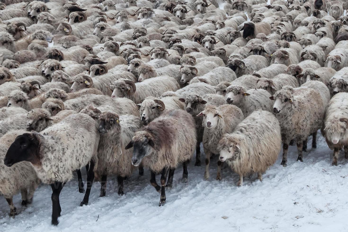 kudde schapen in de winter foto