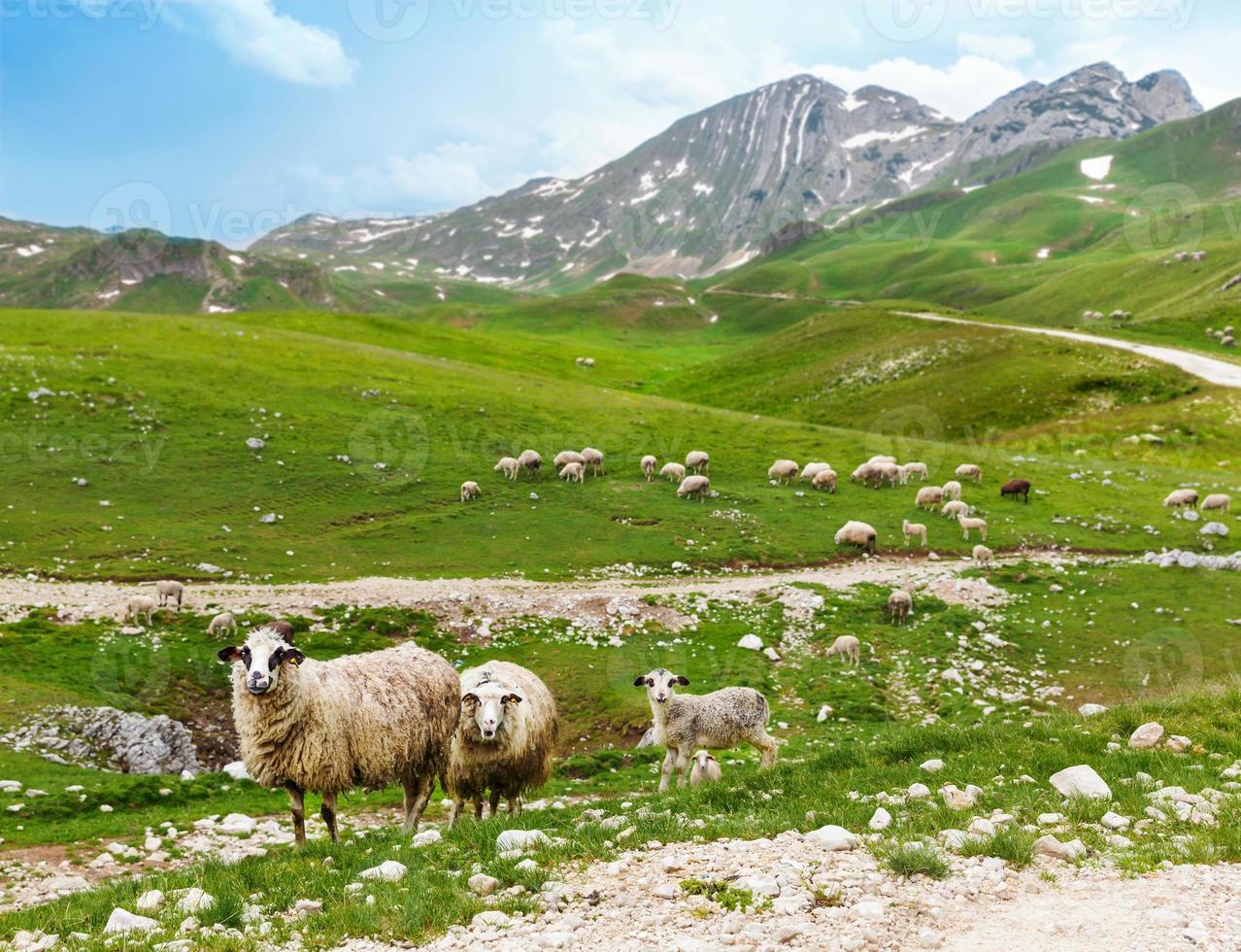 kudde schapen in de bergen foto