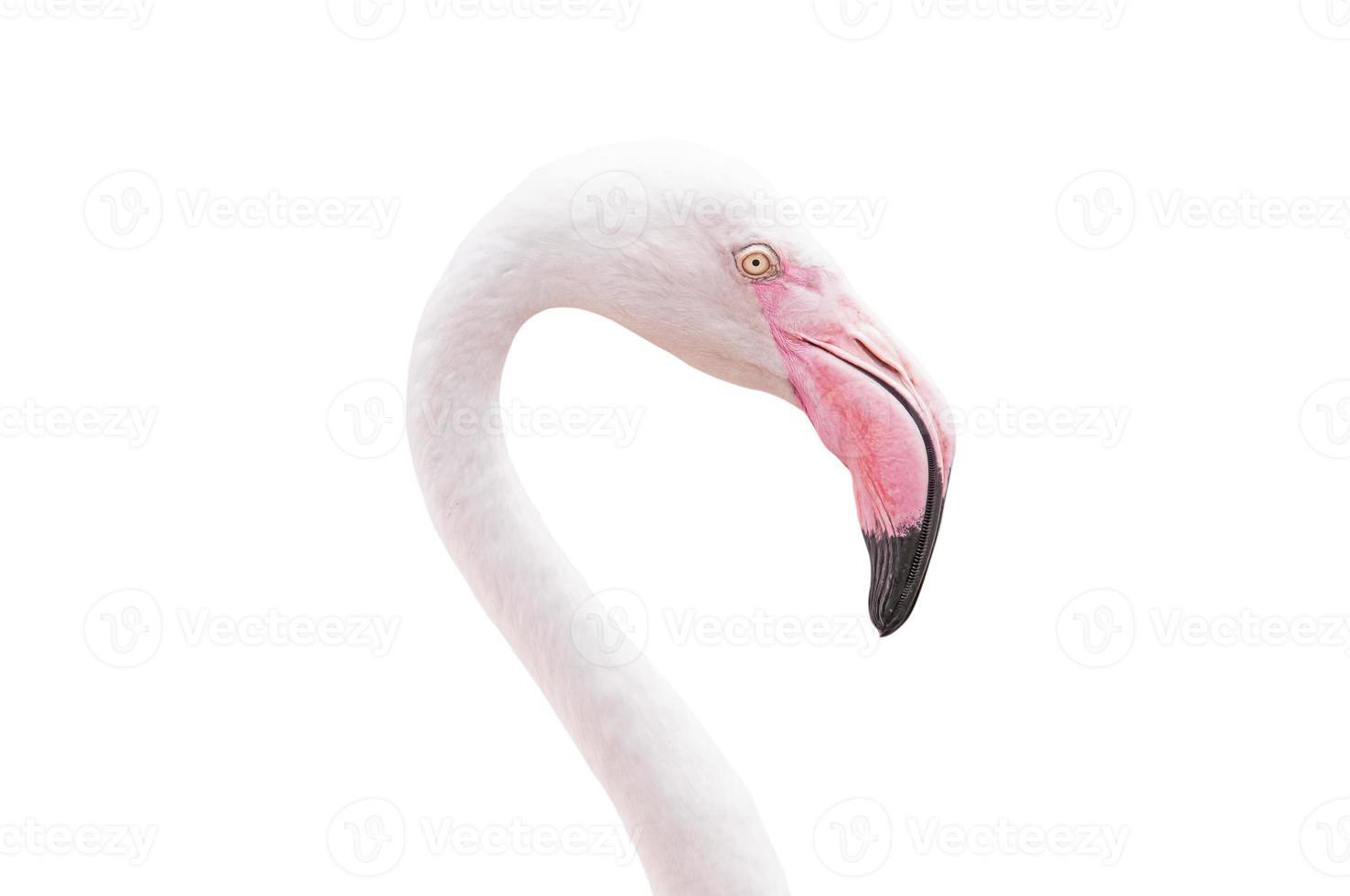 portret van een flamingo foto