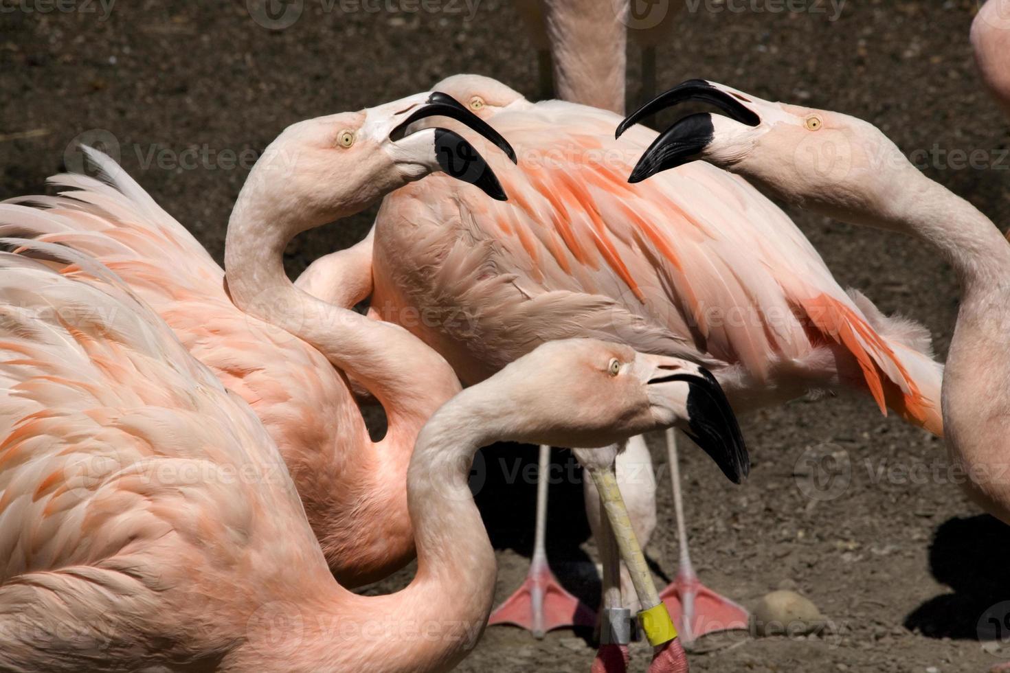 hier hebben we het over roze chileense flamingo's die roddelen foto