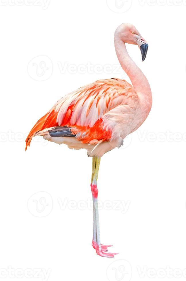 flamingo geïsoleerd foto
