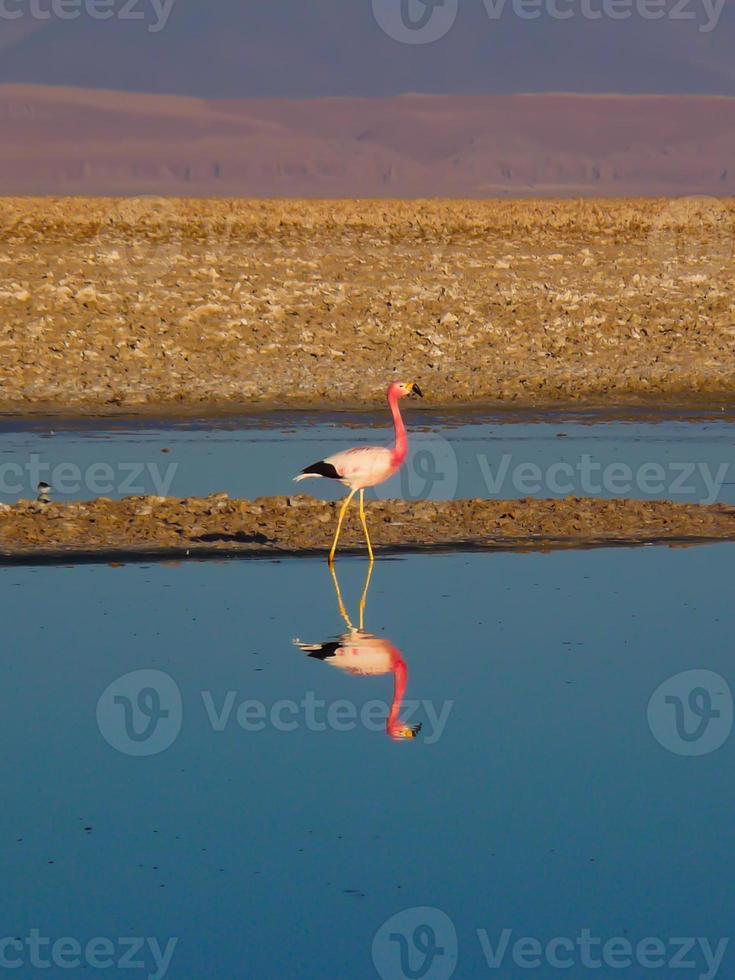 atacama een flamingo foto