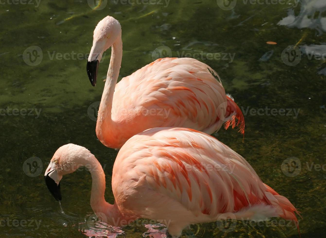 paar flamingo's foto