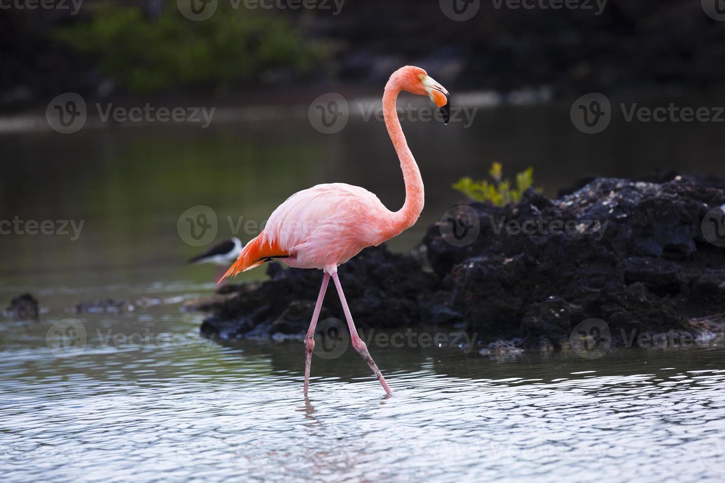 flamingo caminando en laguna foto