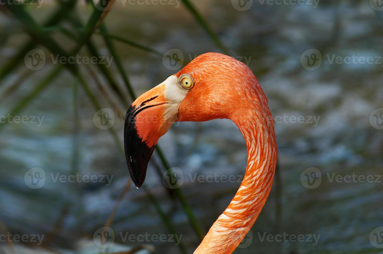close-up hoofd van roze flamingo foto