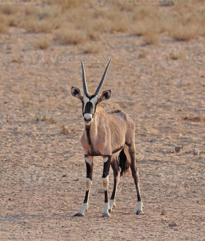 gemsbok tegen uitzichtpunt in de woestijn foto