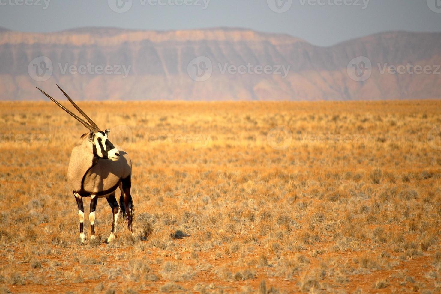 oryx nabij sossusvlei, namibië foto