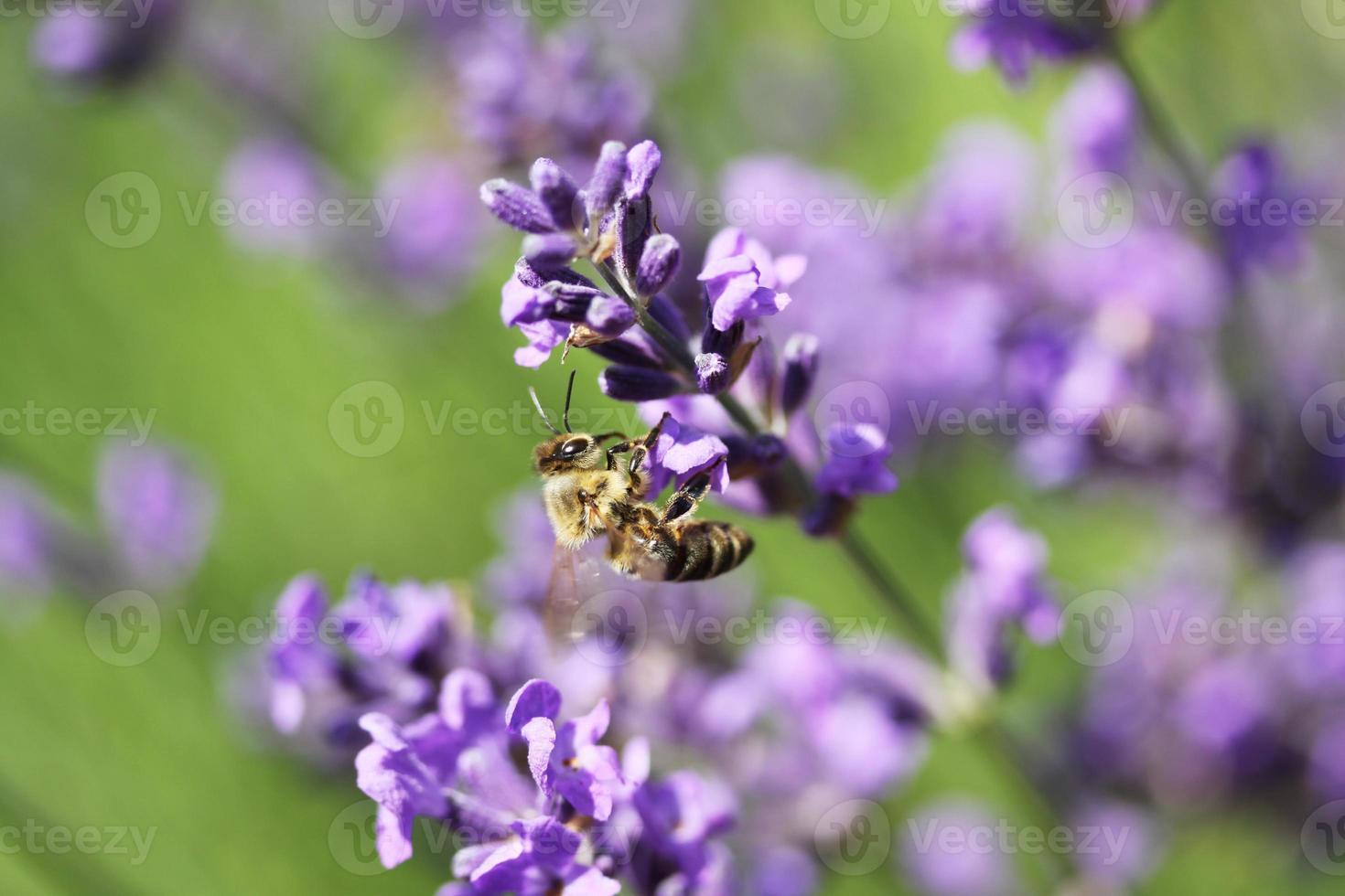 honingbij op lavendel bloem. honingbij verzamelt stuifmeel. foto