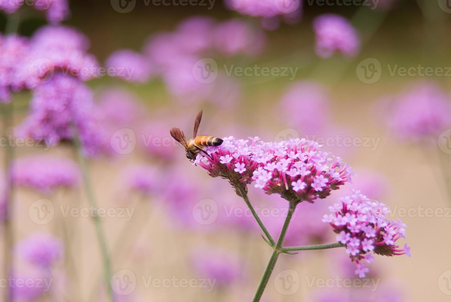 bij op roze bloem foto