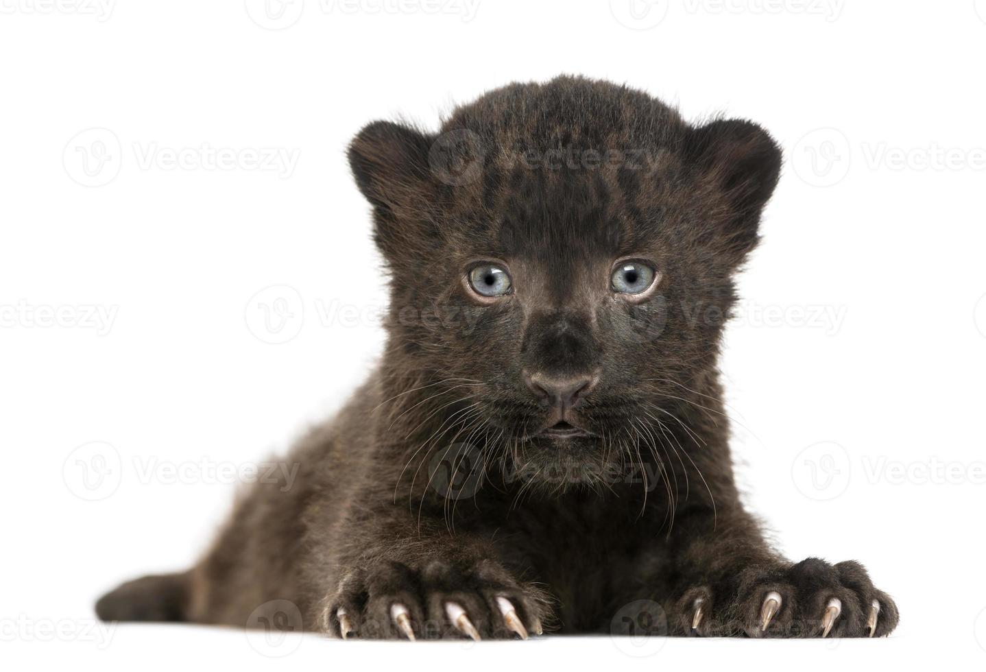 zwarte luipaardwelp onder ogen zien en liggen, geïsoleerd foto