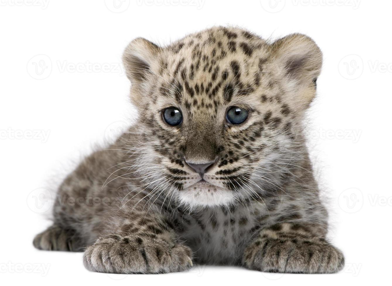 perzisch luipaardwelpje (6 weken) foto