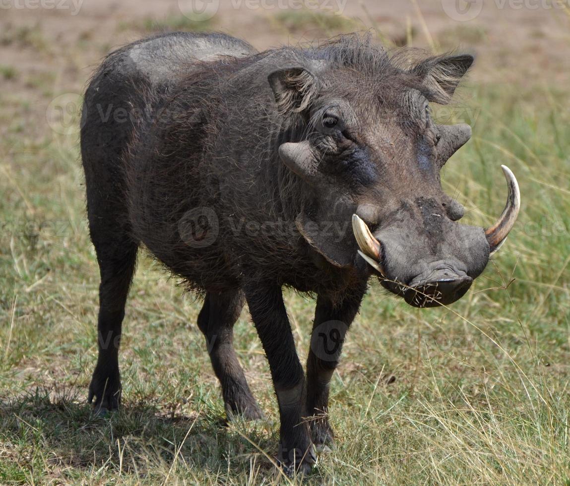 wrattenzwijn in Kenia foto