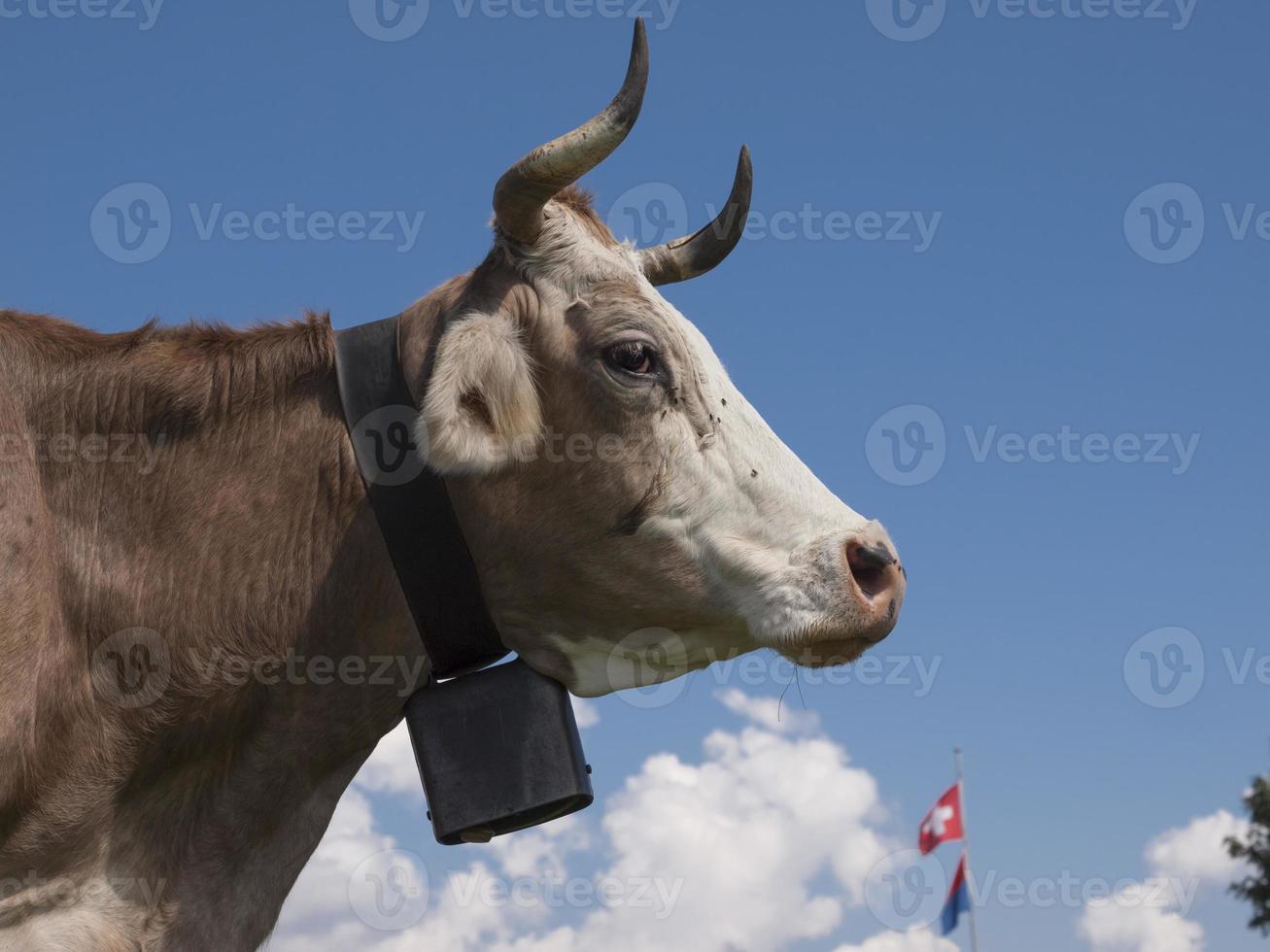 zijaanzicht van Zwitserse koe met een zwarte bel onder de blauwe hemel. foto