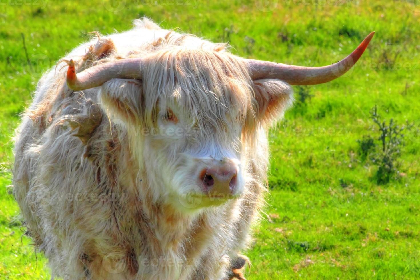hoogland koe. foto