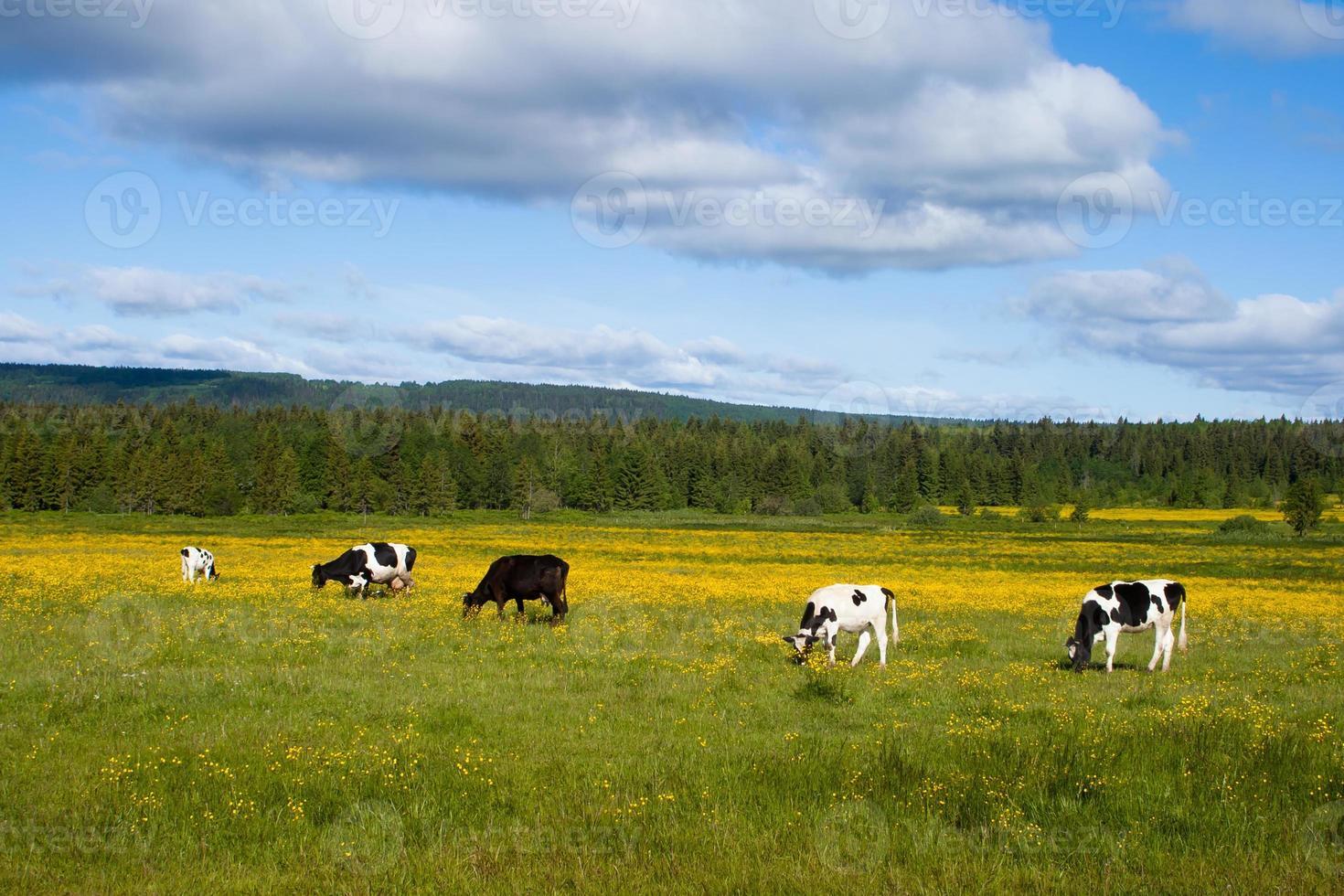 grazende koeien foto