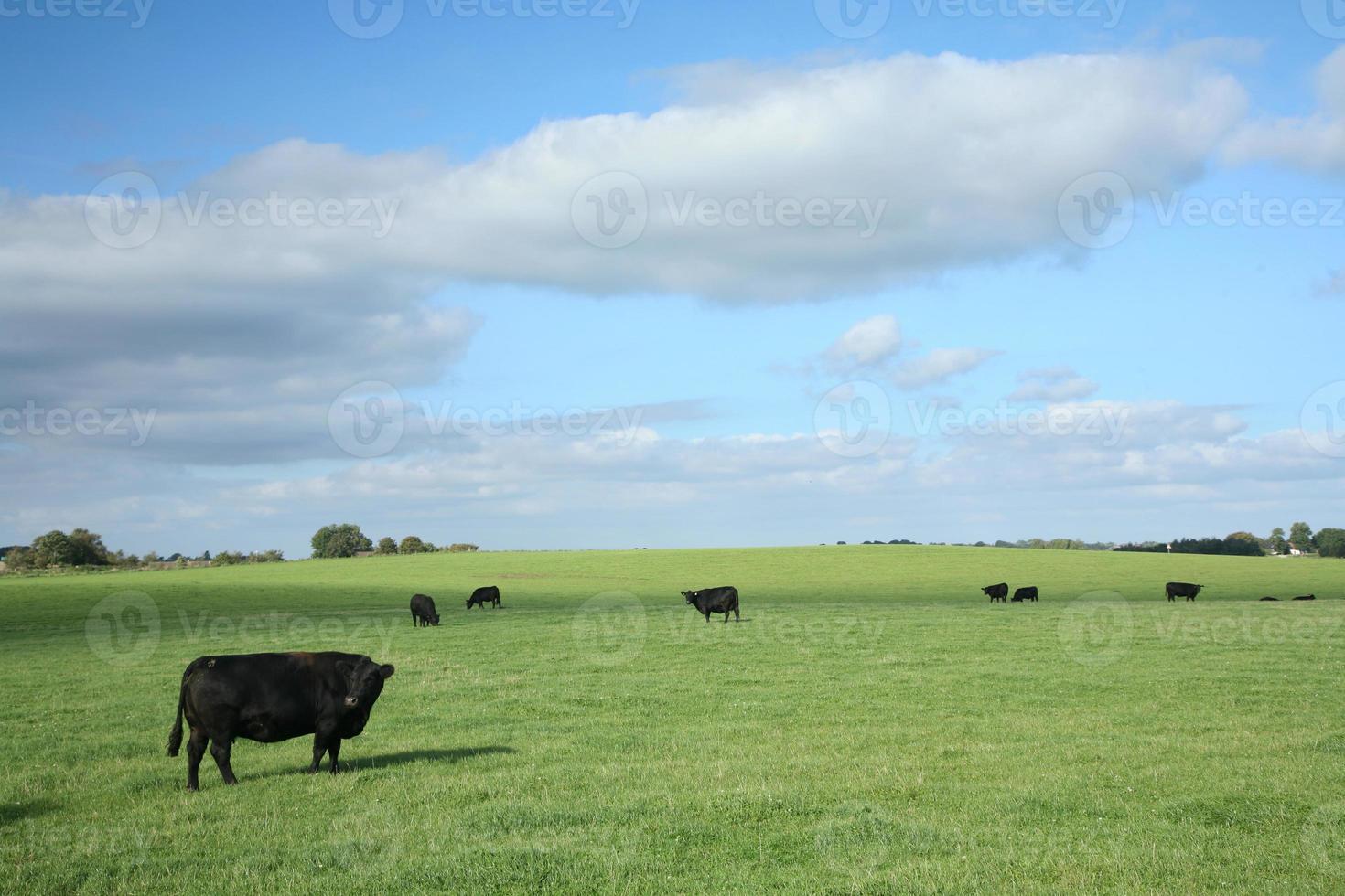 deense koeien foto