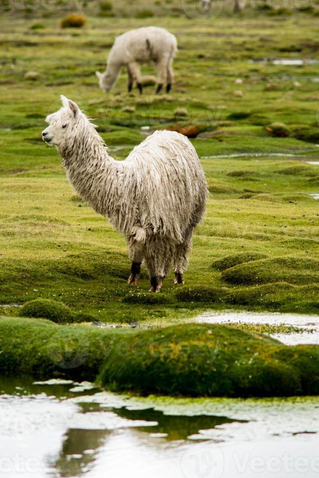 colca canyon: alpaca's en lama's op een weiland foto