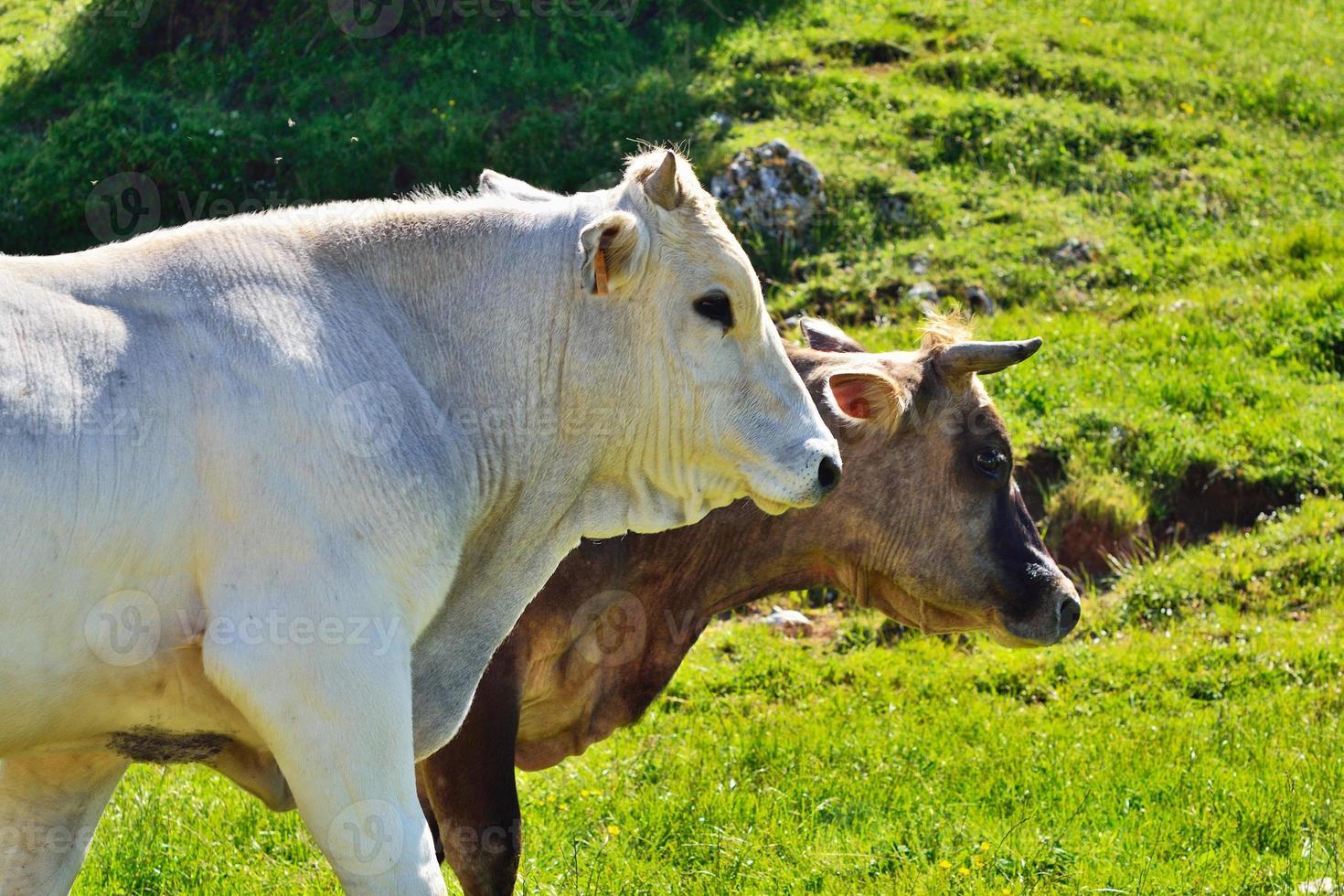 twee koeien foto
