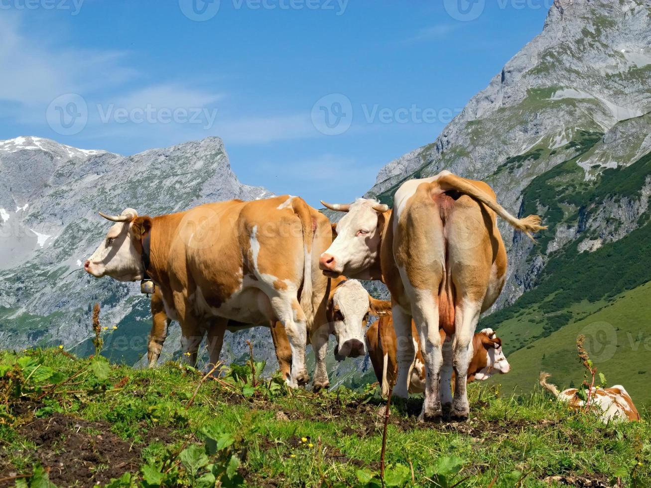 Alpen met koeien foto