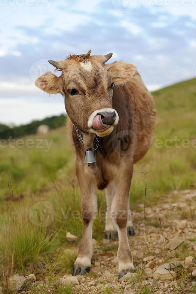 koe in de natuur foto
