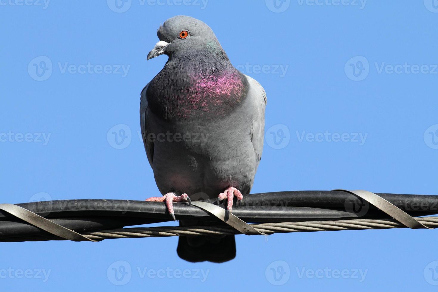 rock pigeon columbia livia staande op kabeldraden foto