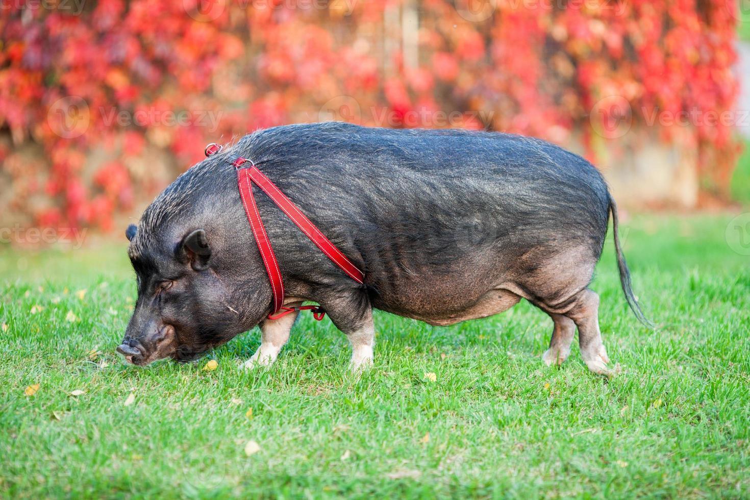 wild varken in een park foto