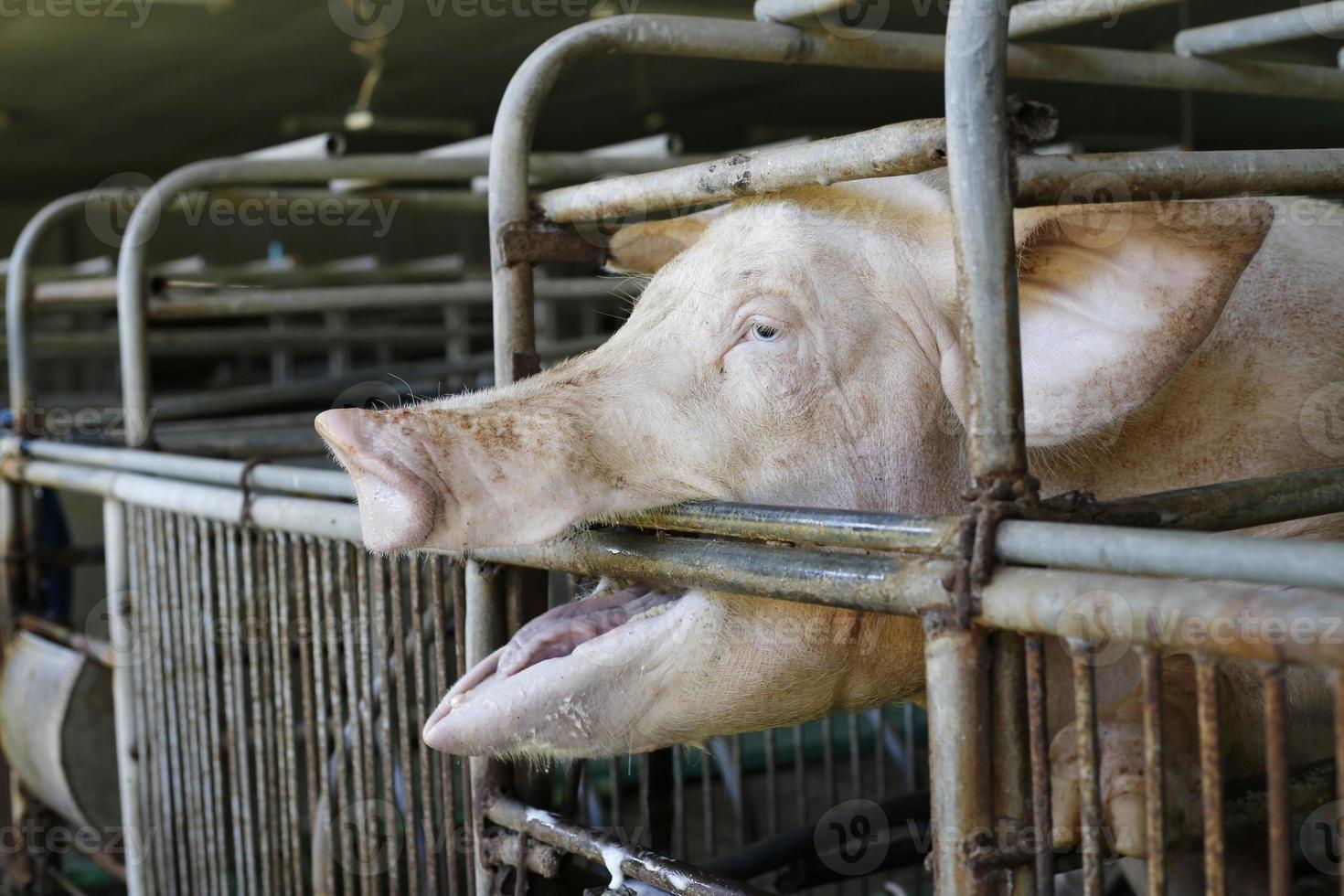 hongerige varkens foto
