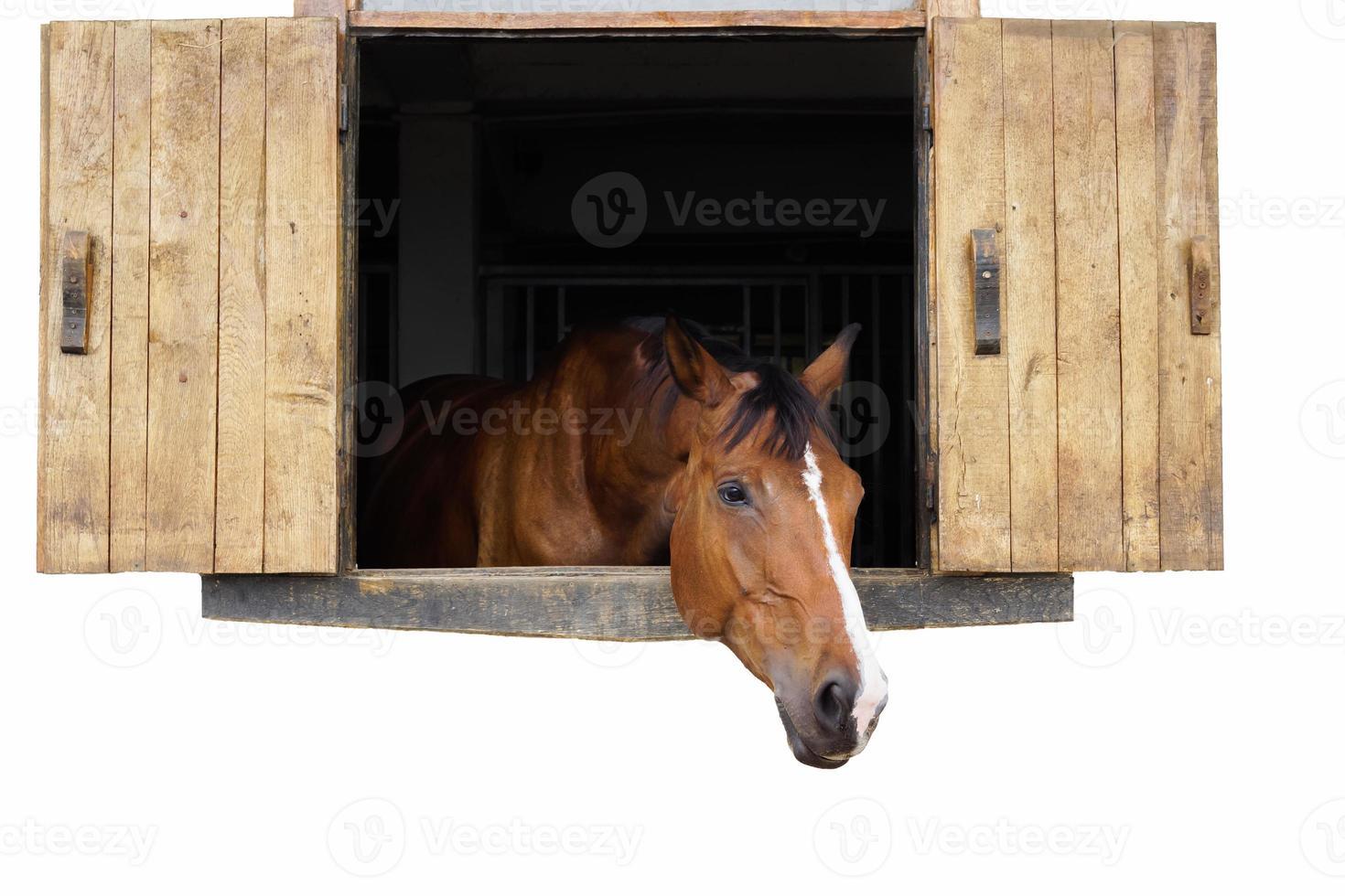 paardenportret 2 foto