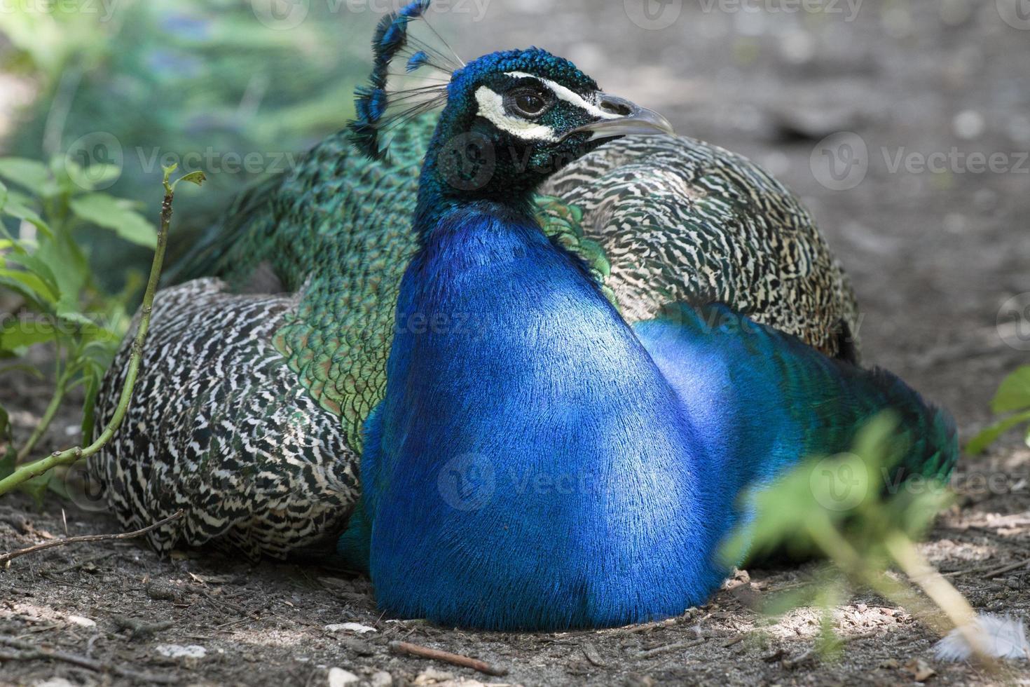 ik ben blauw en heb mooie veren foto