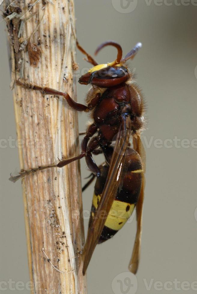 oosterse horzel, vespa orientalis foto