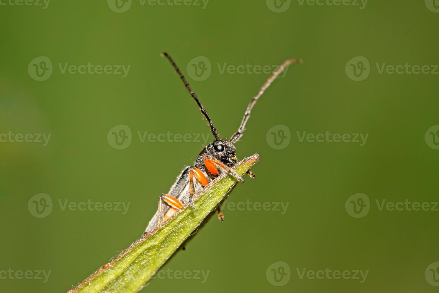 coleoptera cerambycidae insecten foto