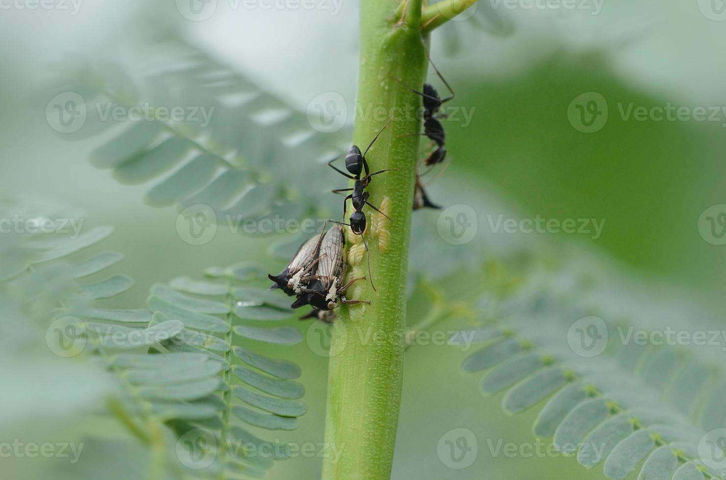 zwarte mier & centrotus cornutus (hemiptera) foto