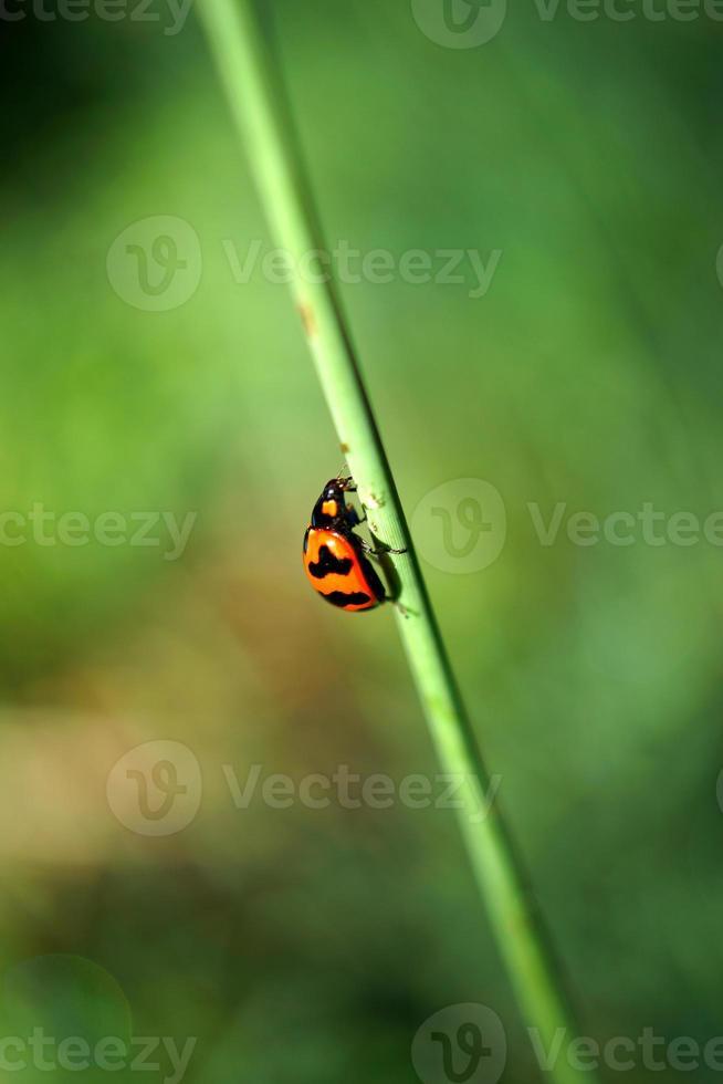 insecta: coleoptera: coccinellidae lieveheersbeestjes, lieveheersbeestjes foto