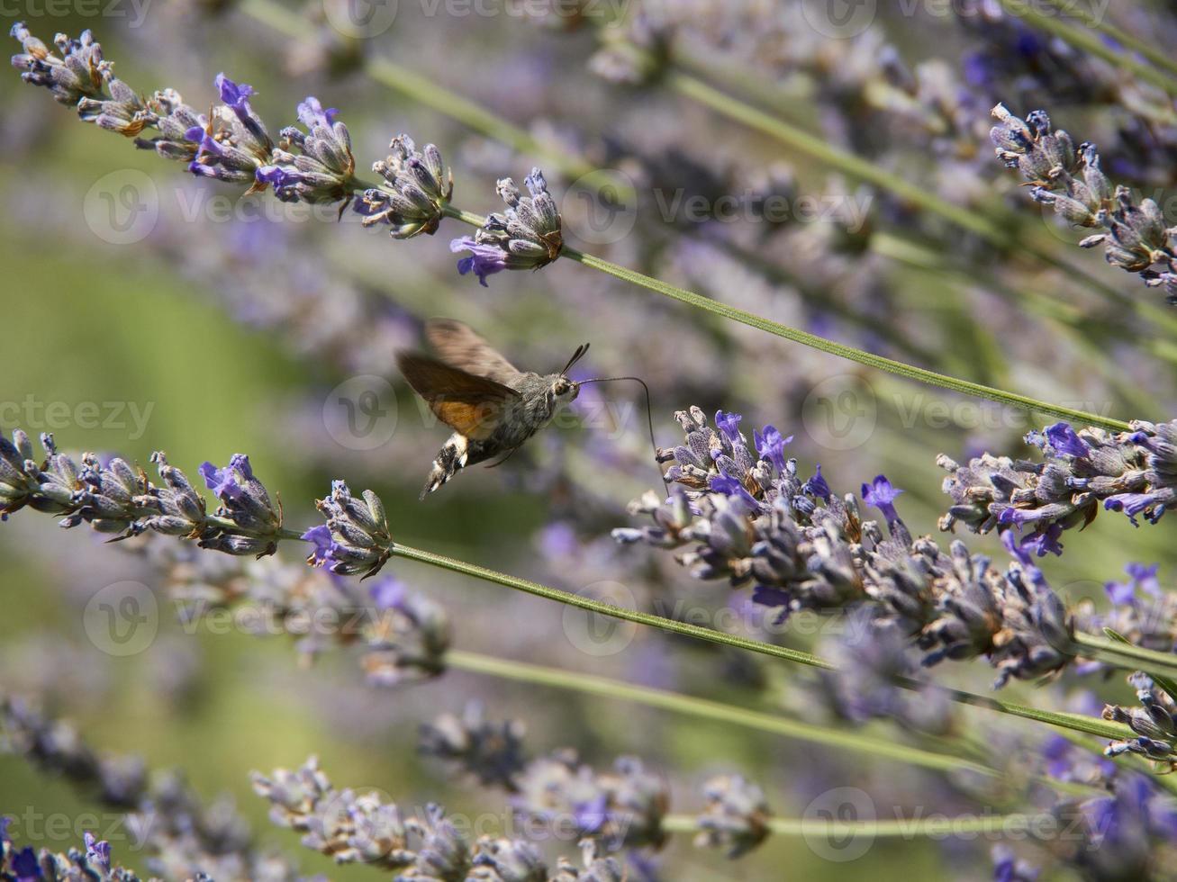kolibrie vlinder foto