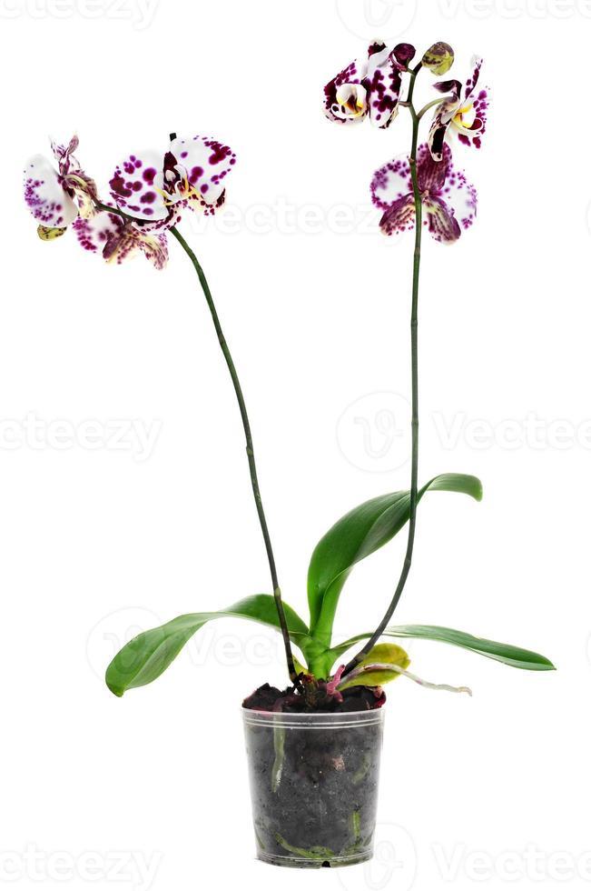 polka dot phalaenopsis orchidee foto