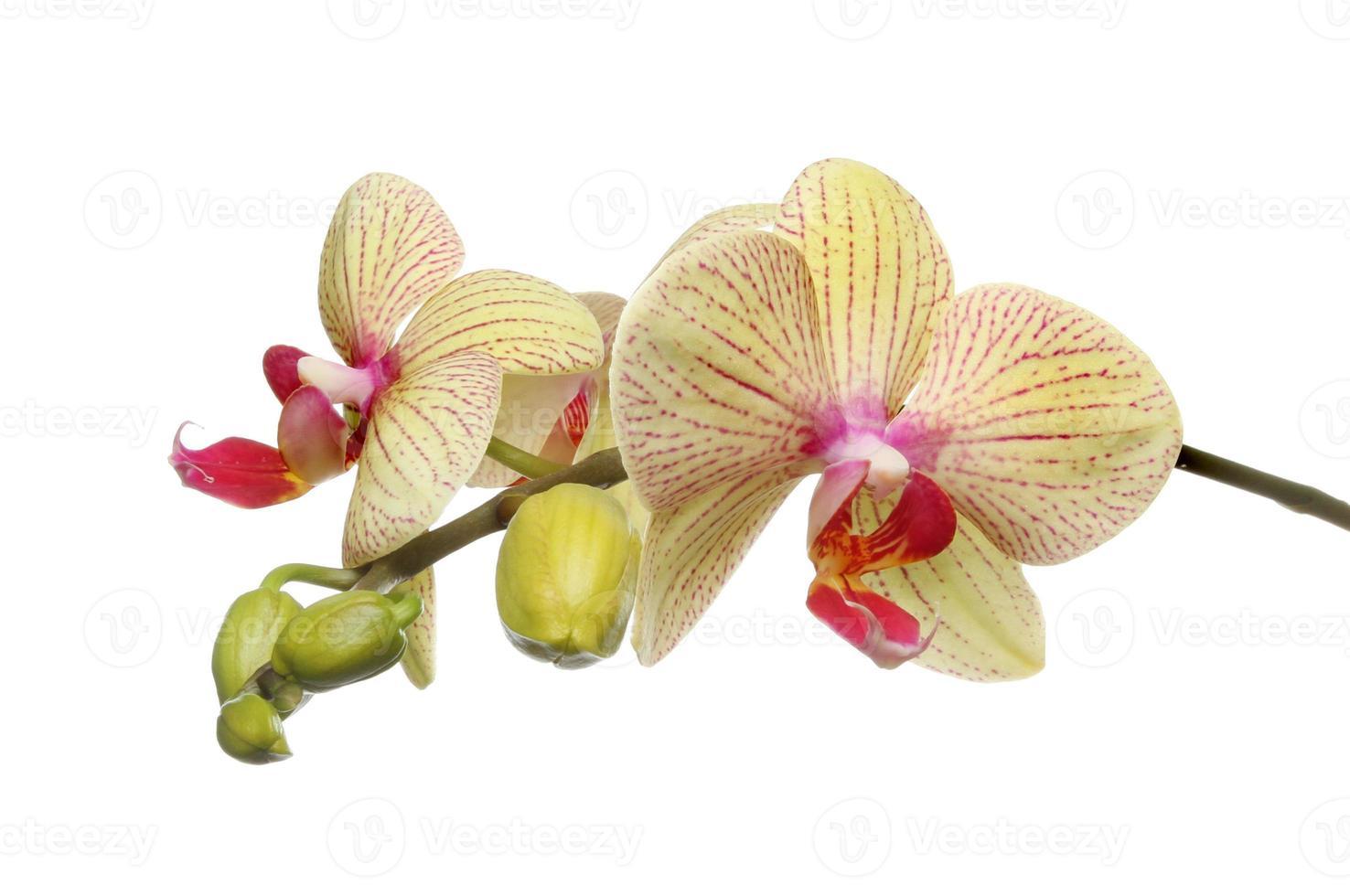 vlinder orchidee foto