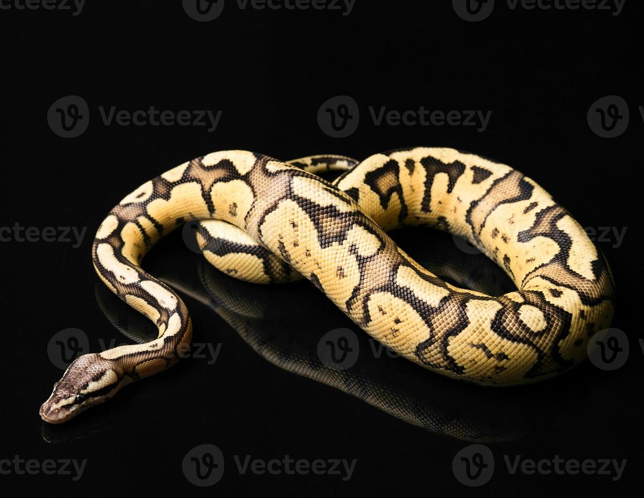 vrouwelijke bal python. vuurvlieg morph of mutatie foto