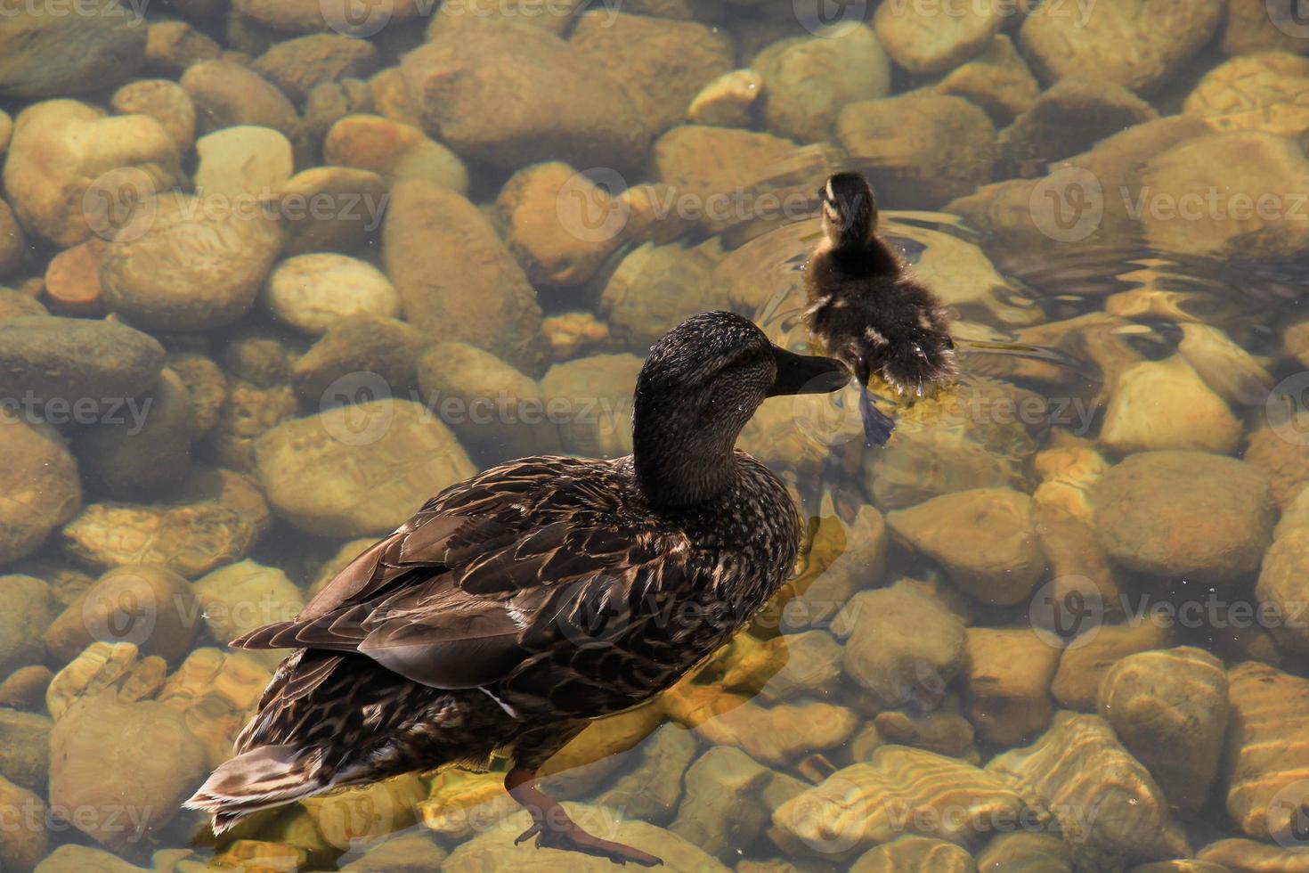 moeder eend en kuiken op water foto