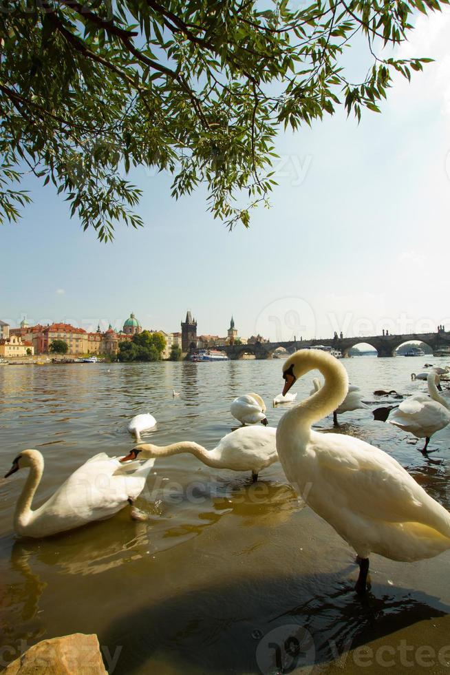zwaan in Praag. foto