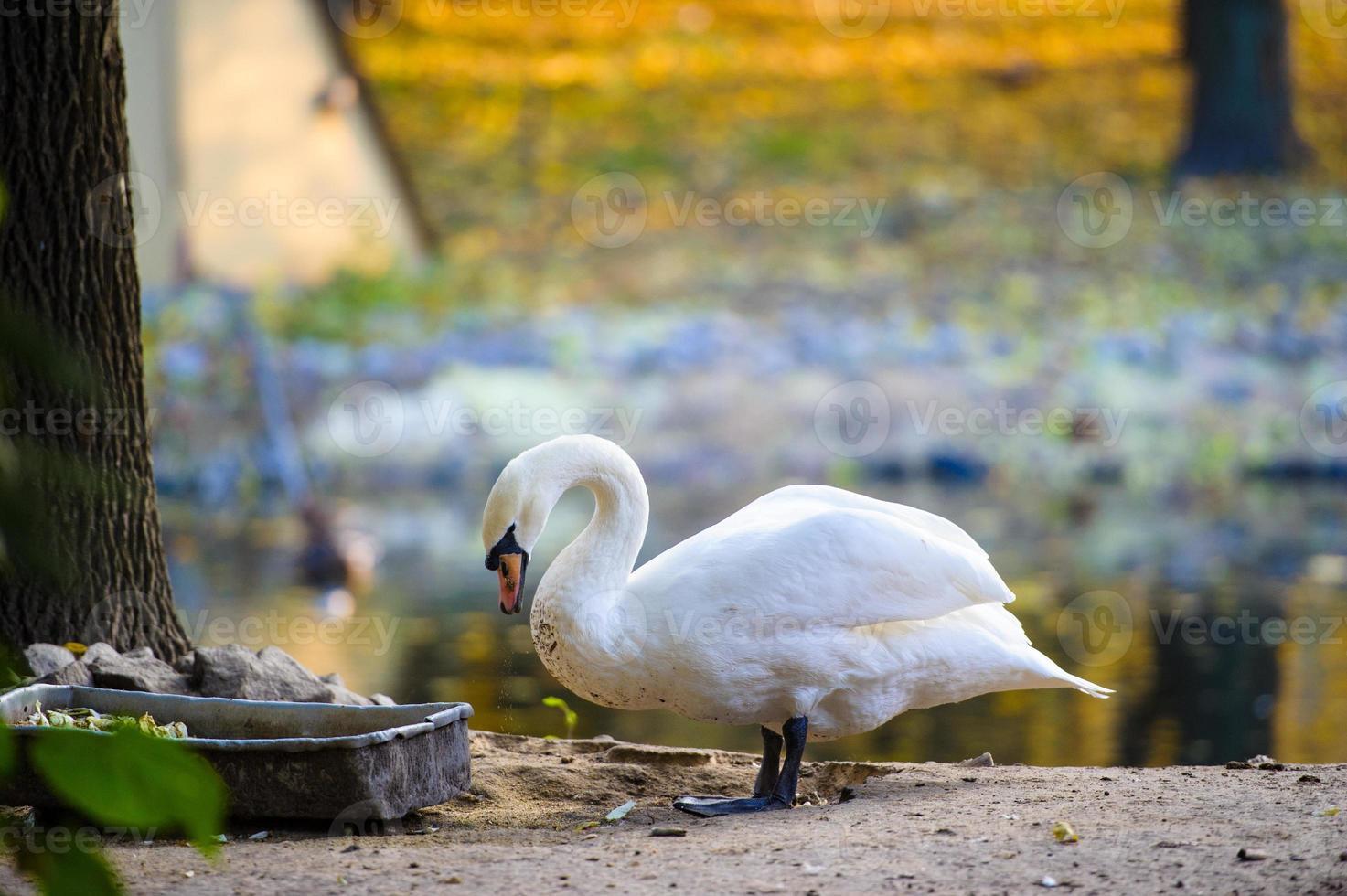 mooie jonge zwanen in het meer foto